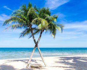 kokos-palmen